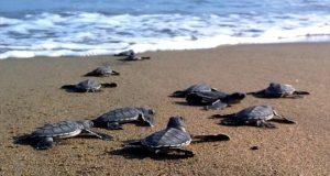 Kaplumbağalar denize gidiyor